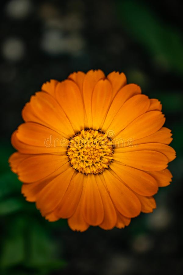 Orange Blume auf verbreitetem Hintergrund stockbilder