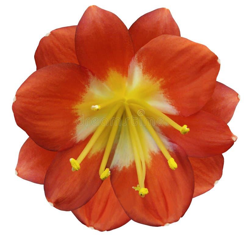 Orange Blume Der Lilie, Lokalisiert Mit Beschneidungspfad, Auf Einem ...