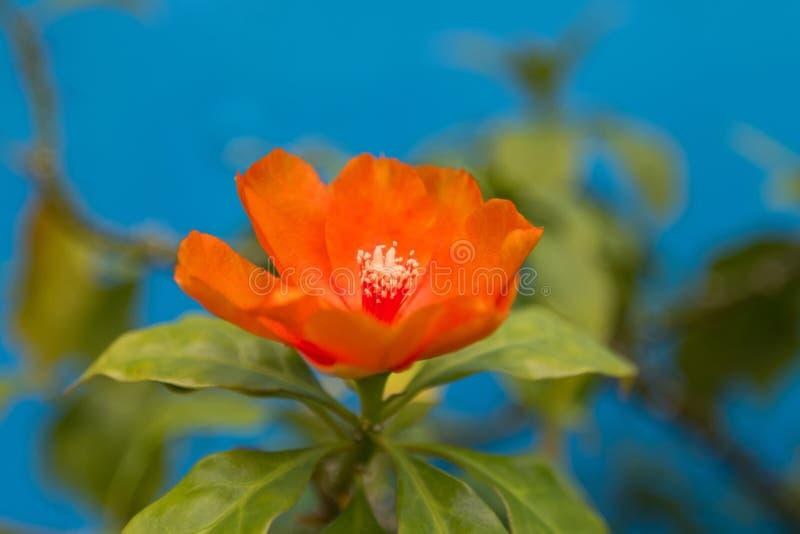 Orange Blume der Nahaufnahme von Rosen-Kaktus, nannte auch Wachs stieg, belaubter Kaktus mit unscharfem Hintergrund lizenzfreie stockfotografie