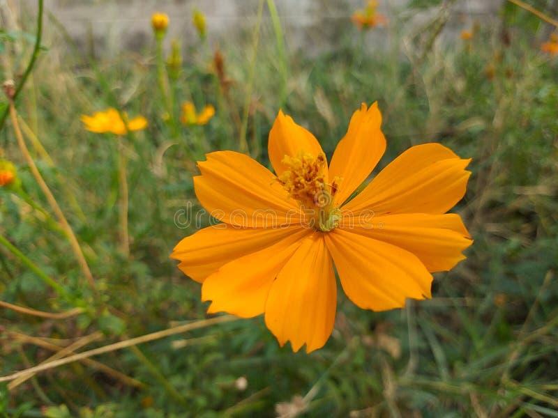 Orange Blume des Kosmos lizenzfreies stockfoto
