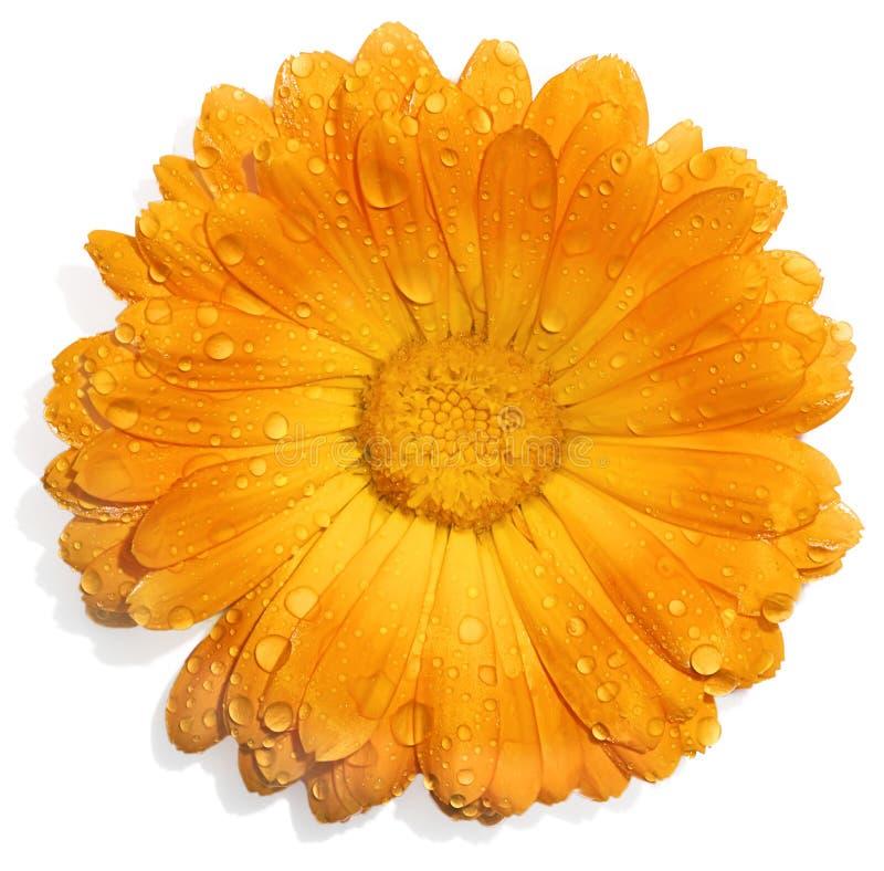 Orange Blume mit Wassertropfen stockbild