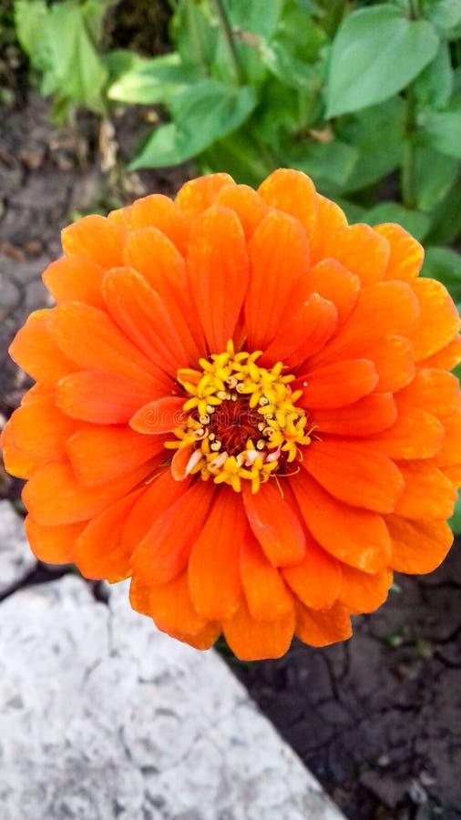 Orange Blume von cynia stockbild