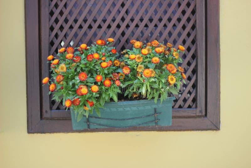 Orange Blumen in einem blauen Topf auf dem Fenster im Haus stockfoto