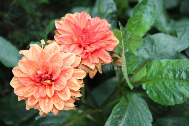 Orange Blumen mit Regentropfen stockfoto