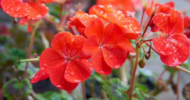 Orange Blumen mit Wassertröpfchen lizenzfreie stockbilder