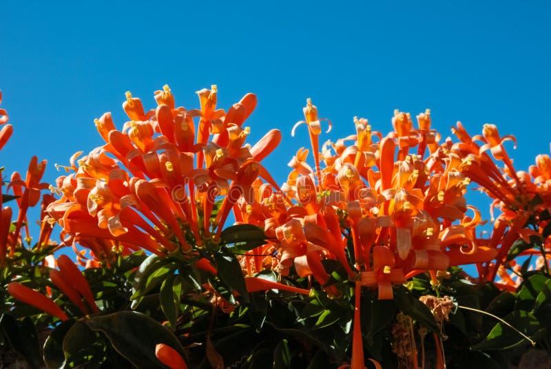 Orange Blumen in Teneriffa stockbild