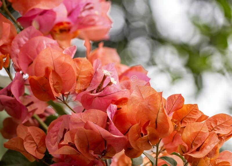Orange Blumenstrauß des Bouganvillas Abschluss oben mit bokeh im Hintergrund stockfotografie