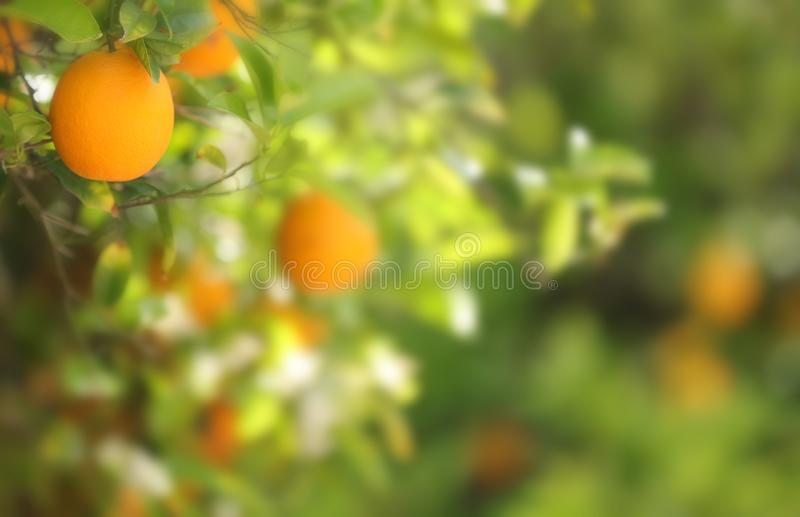 Download An Orange With A Blurred Background. Stock Image - Image of branch, juicy: 115831055