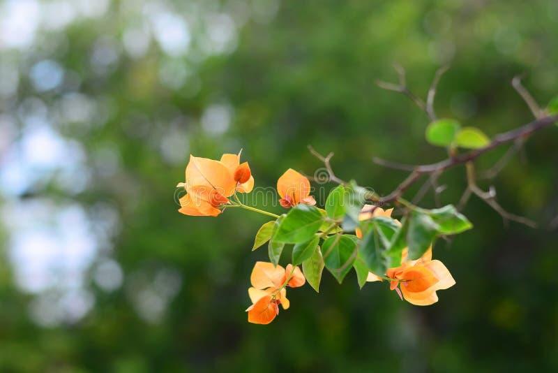Orange Bougainvillea flower on blur bokeh background royalty free stock photography