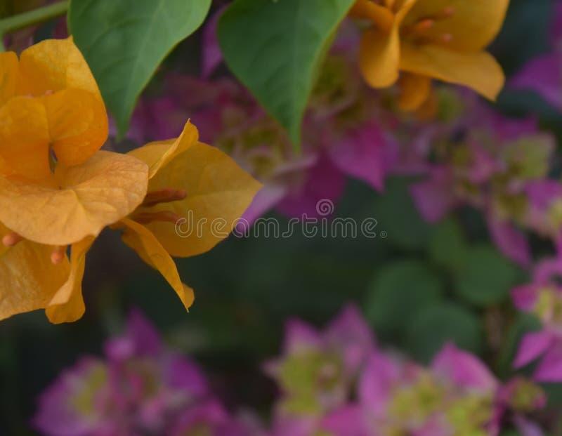 Orange Bouganvillablume stockfoto