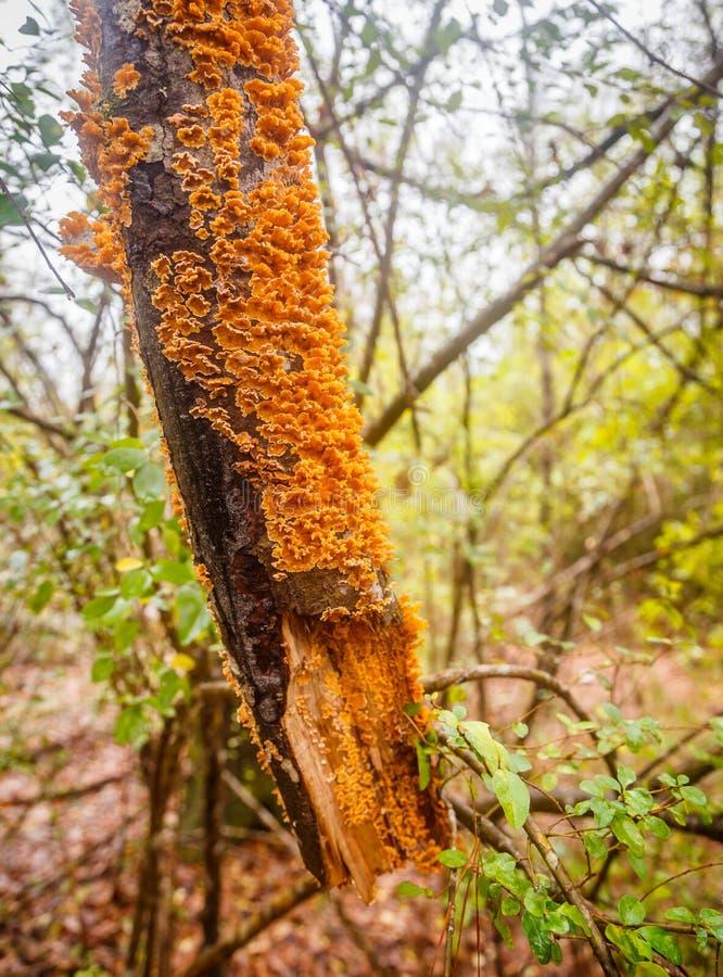 Free Orange Bracket Fungus Stock Photo - 64139540