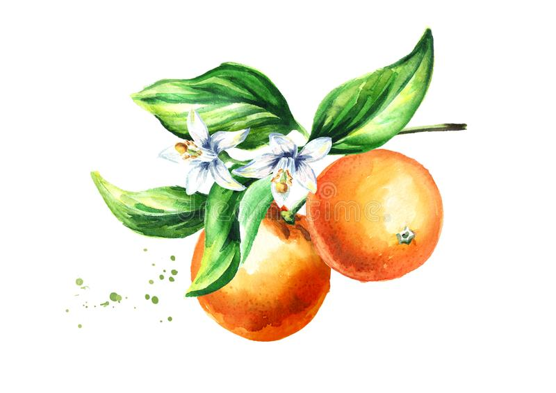 Orange branch with fruits flowers and leaves. Watercolor hand drawn illustration, on white background.  stock illustration
