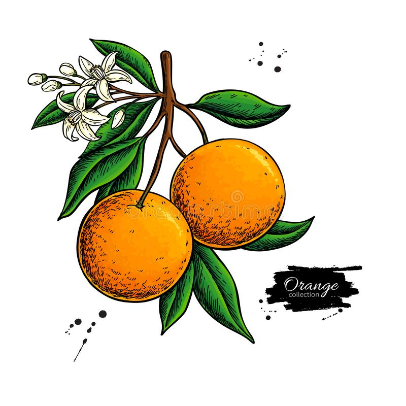 Orange branch vector drawing. Summer fruit color illustration. Isolated hand drawn whole orange vector illustration