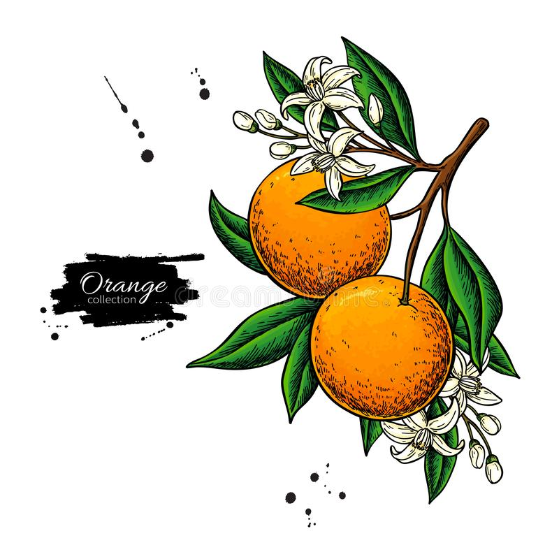 Orange branch vector drawing. Summer fruit color illustration. Isolated hand drawn whole orange stock illustration