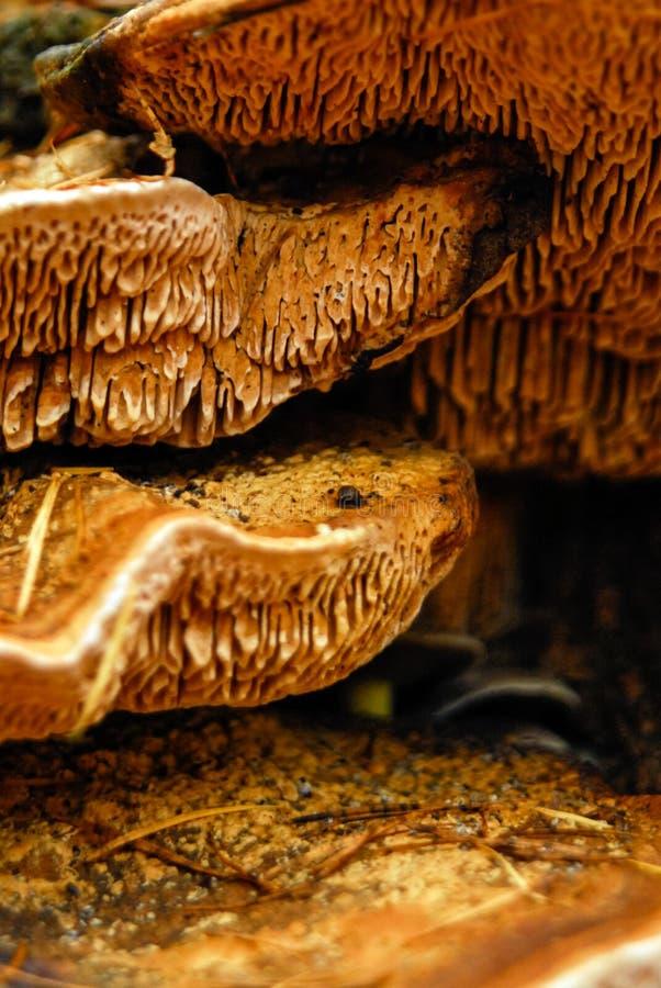 Orange braunes Wachsen des pilzartigen Pilzes auf forrest Boden lizenzfreie stockbilder