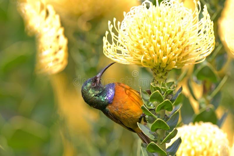 Orange-breasted Sunbird-Fütterung stockfotos