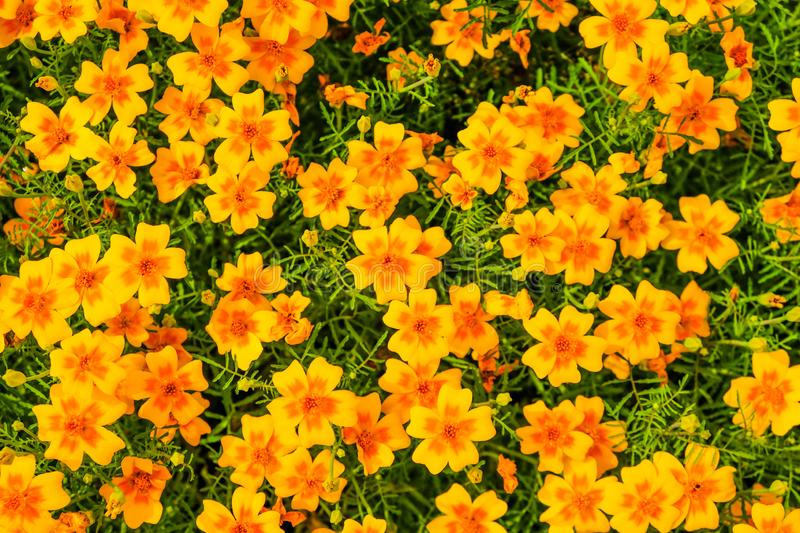 Orange bright thin-leaved marigolds flowers in the garden. Close-up. Top view for background stock image