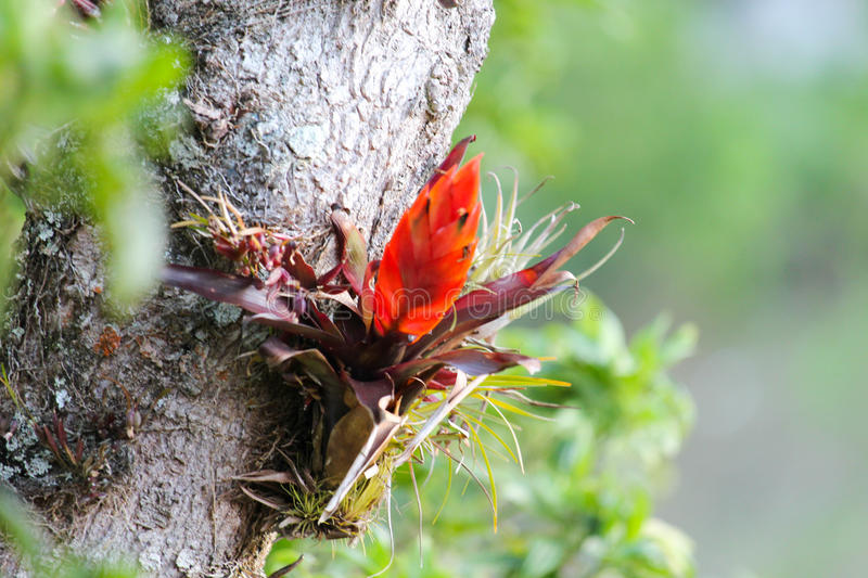 Orange bromeliad flower on tree in the cloud forest jungle. An orange bromeliad flower growing on the trunk of a tree in the cloud forest jungle in La Amistad stock photography