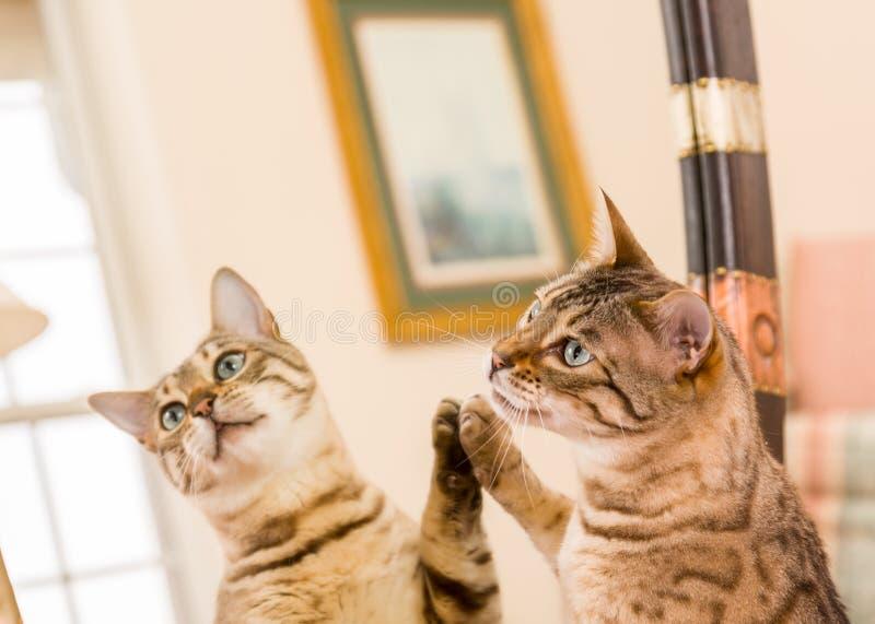 Orange brown bengal cat reflecting in mirror stock photo