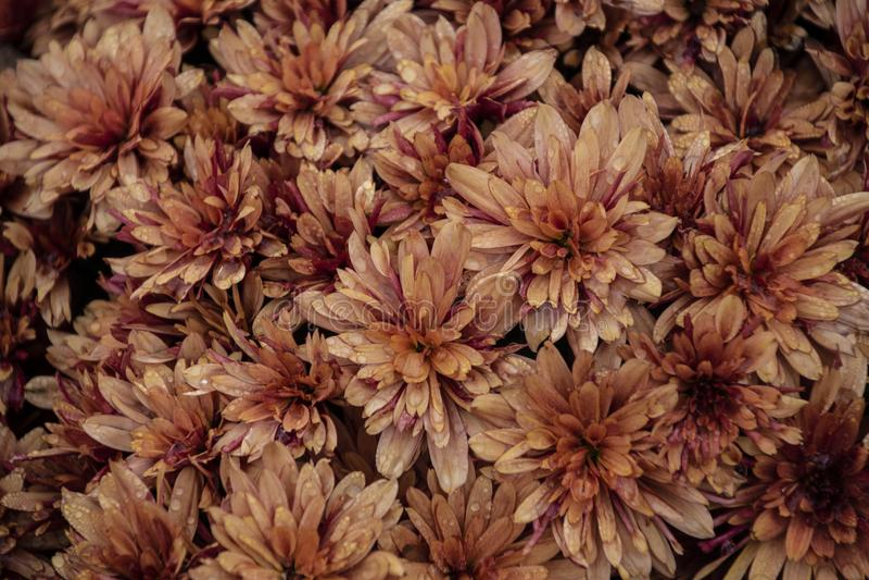 Orange brown chrysanthemum flowers on green garden background stock image