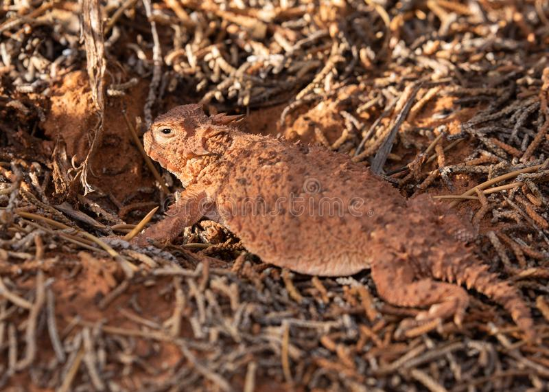An orange brown color horned lizard among fallen pine twigs in the desert of Southern Utah royalty free stock photo