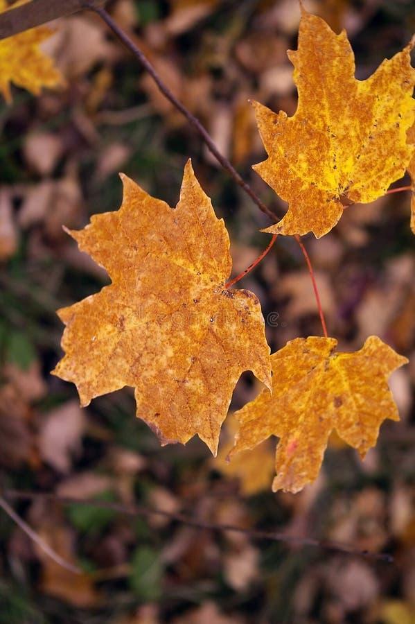Free Orange/Brown Maple Leaves Royalty Free Stock Photos - 1354578