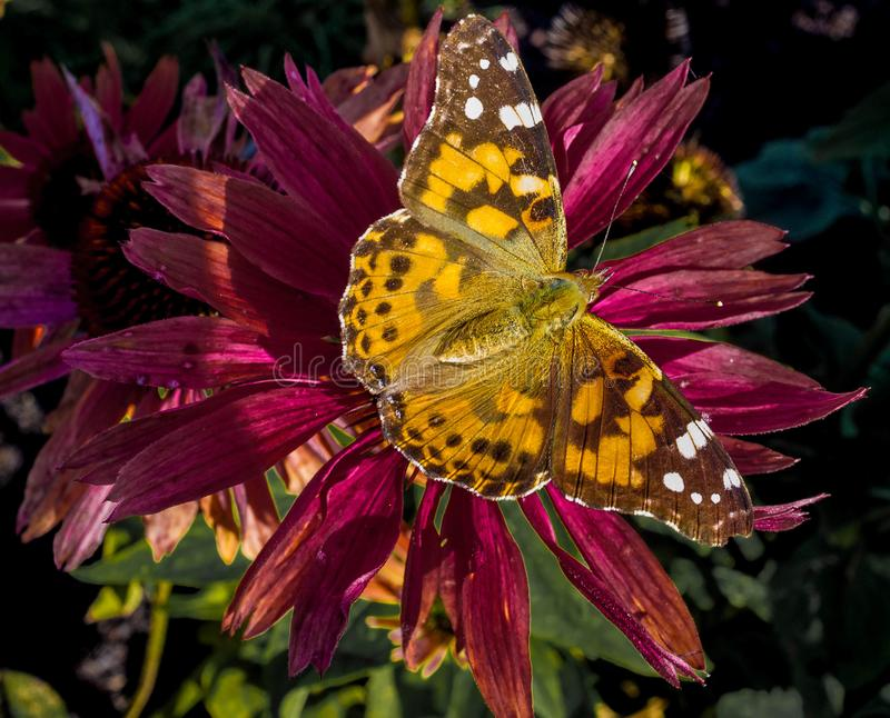 Painted lady butterfly on a flower stock image