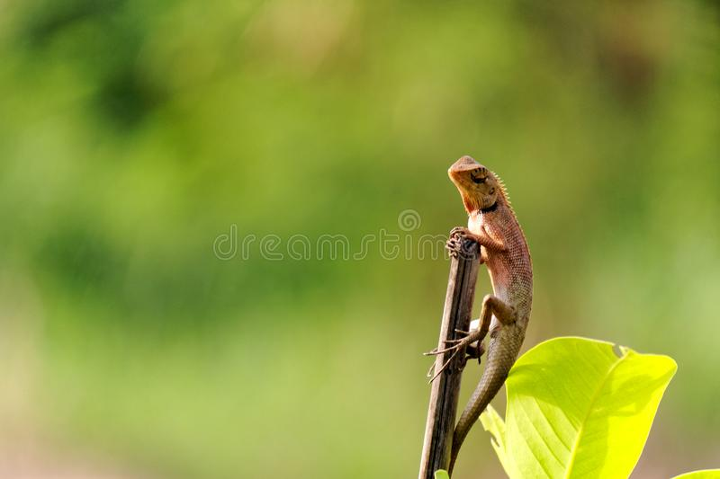 Orange brown thai chameleon royalty free stock photo