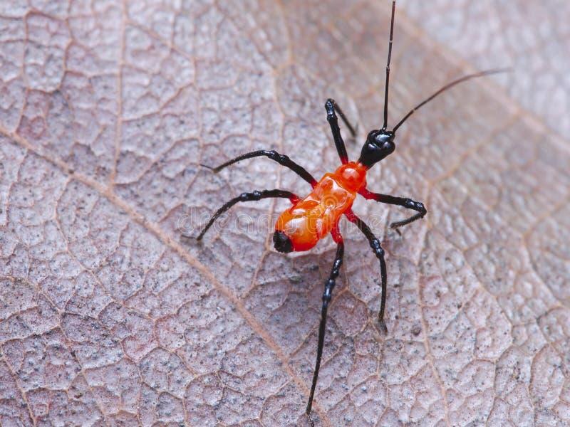 Orange bug on the fall leaf. Take with panasonic lumix g85 and olympus 60mm macro lens stock photography