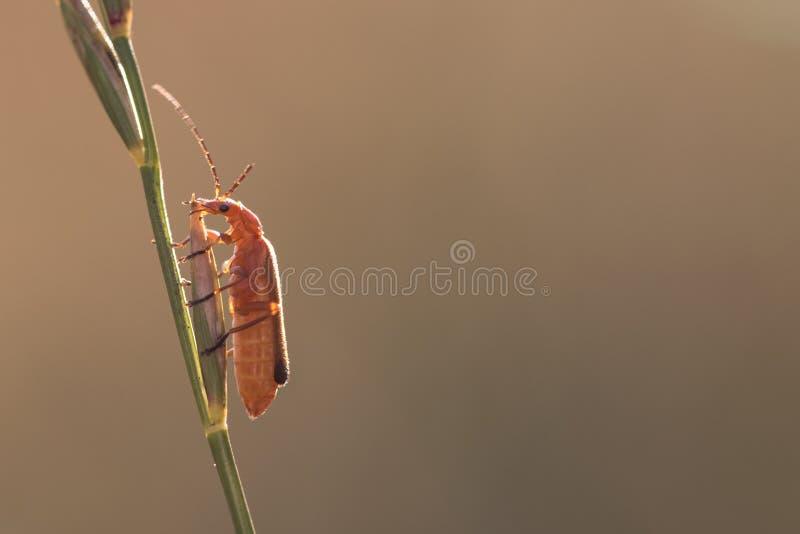 Orange Bug on the Grass Stalk royalty free stock photography