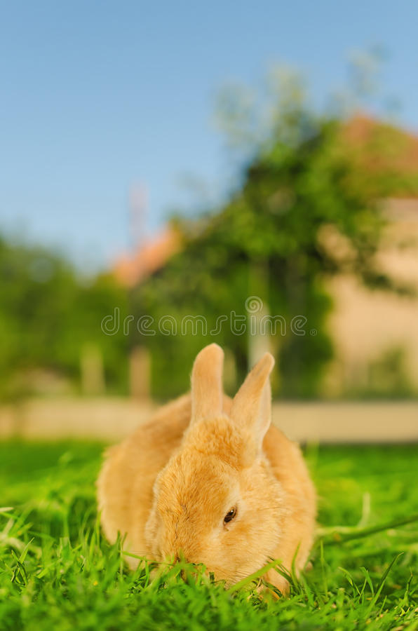 Orange bunnie eating grass in yard. A shot of orange bunnie eating grass in yard with blurred background. Selective focus stock photography