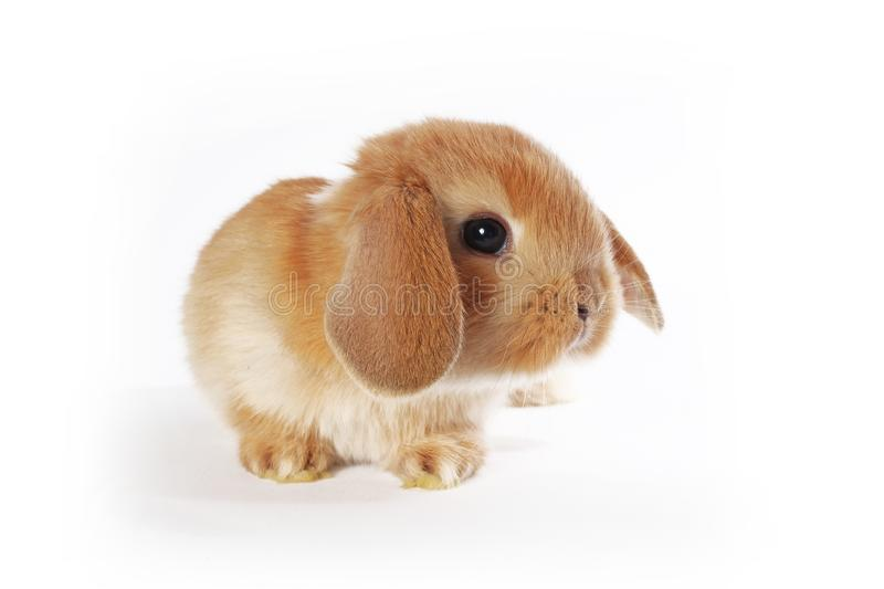 Orange bunny. Super cute lop dwarf rabbit on isolated white background. Cut out stock image