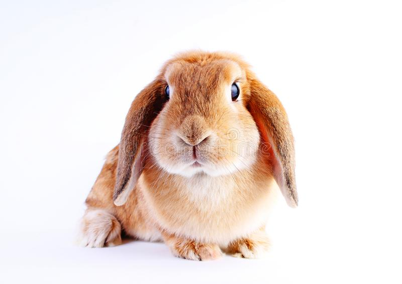 Orange bunny. Super cute lop dwarf rabbit on isolated white background. Cut out royalty free stock photography