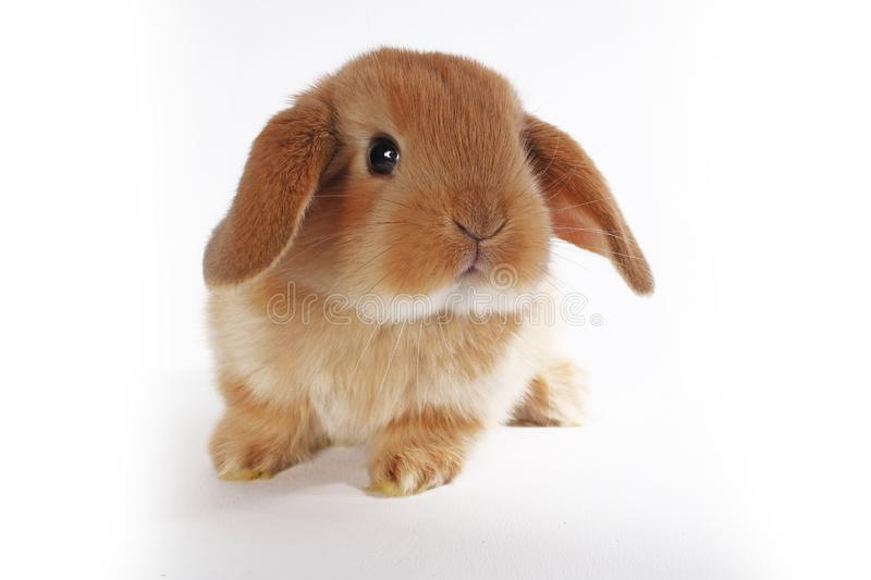 Orange bunny. Super cute lop dwarf rabbit on isolated white background. Cut out royalty free stock photo