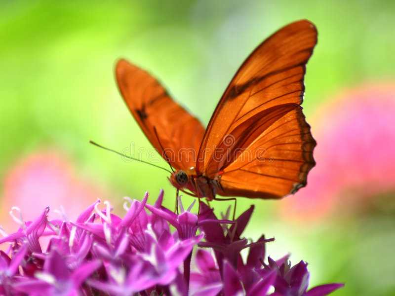Orange Butterfly. On purple butterfly weed royalty free stock photo