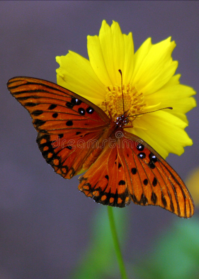 Free Orange Butterfly Stock Photos - 122243