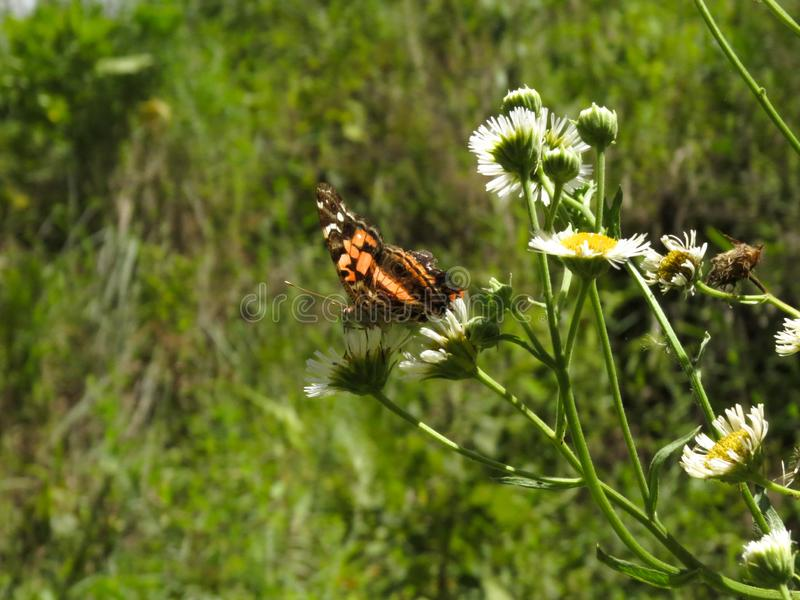 Orange butterfly with black on top of flowers. royalty free stock image