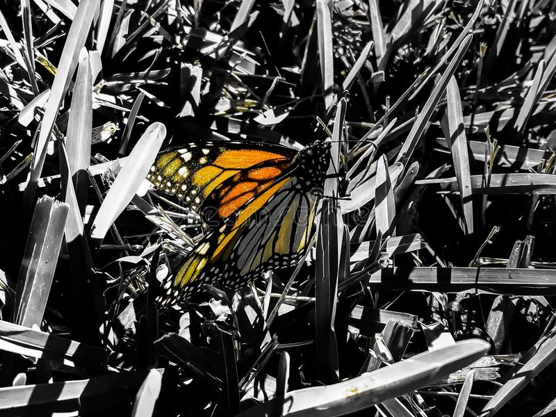 monarch butterfly orange royalty free stock images