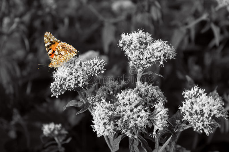 Orange butterfly, black and white photography stock photos