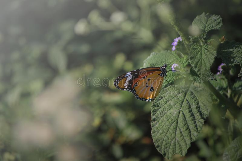 Orange butterfly with black and white spots sitting on green leaf. Wallpaper background royalty free stock photography