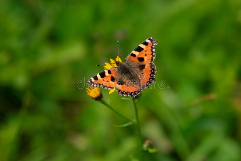 Orange butterfly on the flower, spreading wings. Orange butterfly on the flower, spreading wings collecting nectar stock images