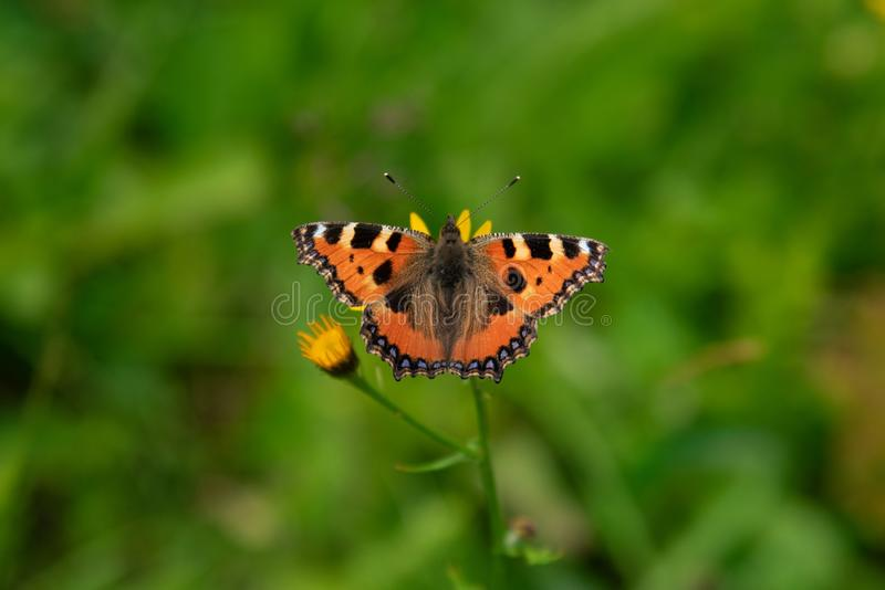 Orange butterfly on the flower, spreading wings. Orange butterfly on the flower, spreading wings collecting nectar stock photography