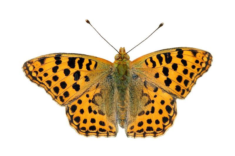Orange butterfly isolated on white. Queen of Spain fritillary butterfly. royalty free stock photography