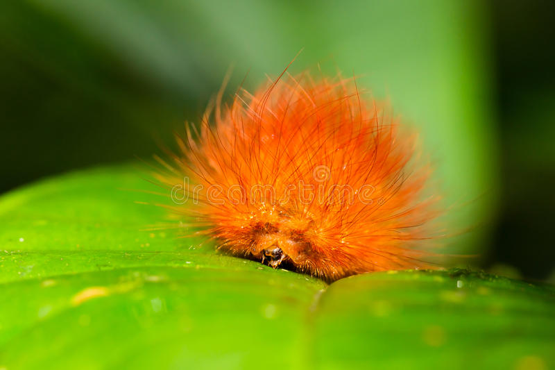 Orange Butterfly Larva Close Up. Caterpillars Are The Larval Form Of A Member Of The Order Lepidoptera The Insect Order Comprising Butterflies And Moths stock photo