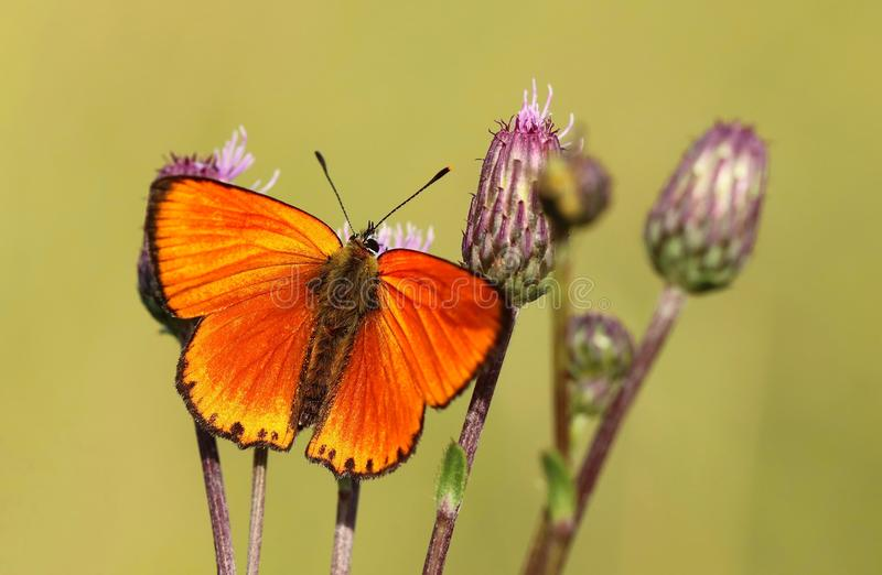 Orange butterfly Lycaena virgaureae stock photos