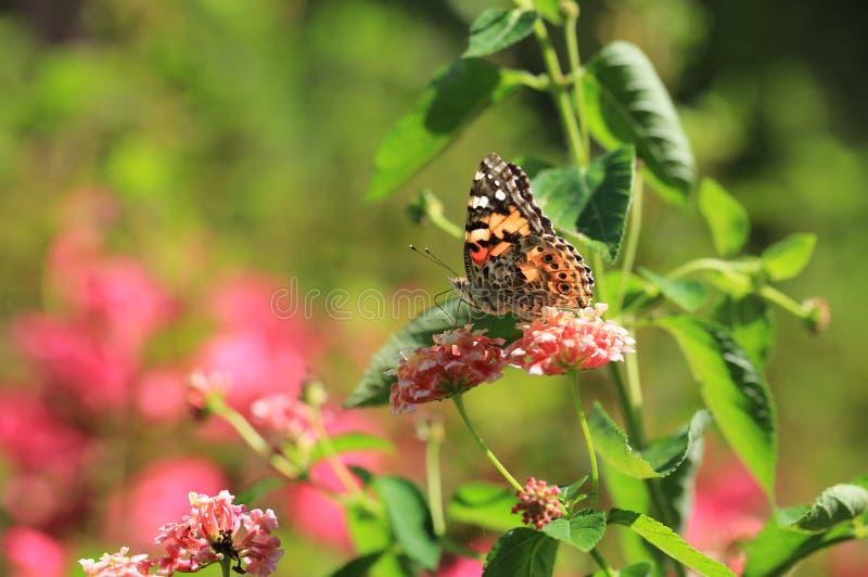 Orange butterfly in a meadow royalty free stock photo