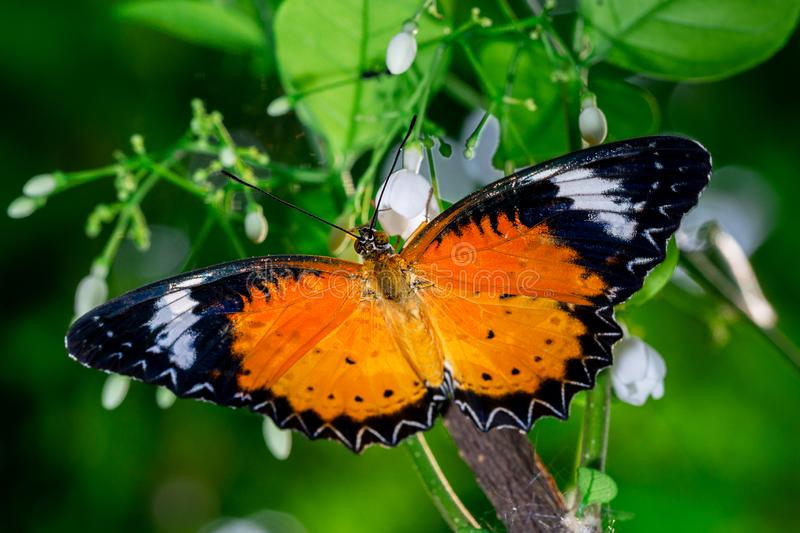 Orange butterfly name Leopard Lacewing eatting on flower nature macro background. Leopard Lacewing butterfly on white flower close up nature background royalty free stock images
