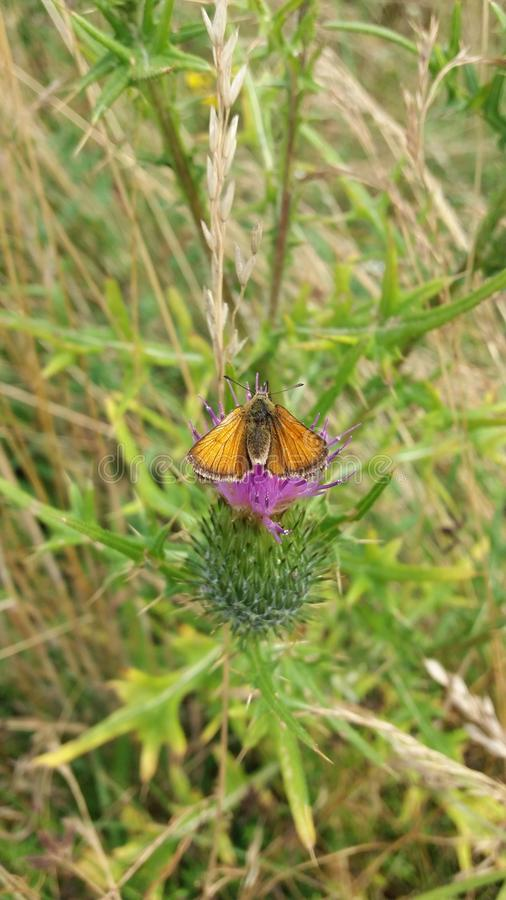 An orange butterfly royalty free stock photography