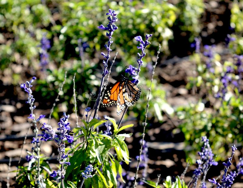 Orange butterfly posing on blue violet flower. Nature animal insect plant green garden natural stock photo