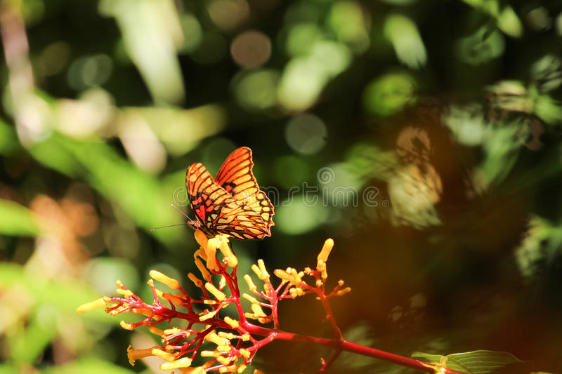 Orange butterfly on red and yellow mistletoe flowers stock image